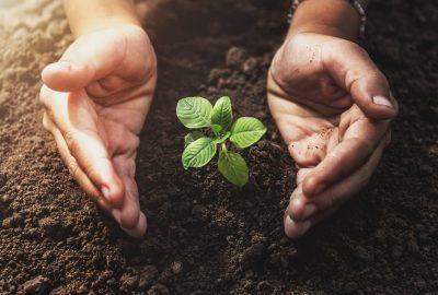 Två händer mellan en liten planta som växer upp ur jorden